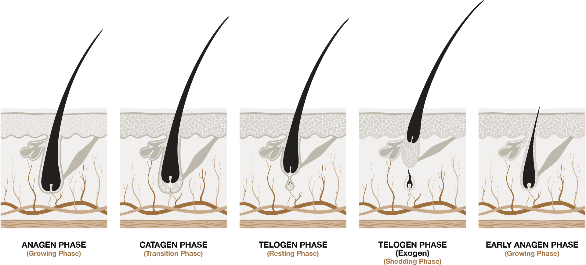 hair-growth-stages